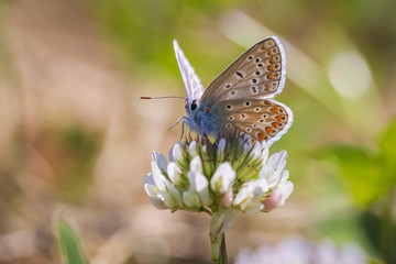 Female Common Blue butterfly Polyommatus icarus pollinating closeup