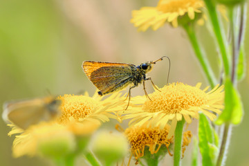 Essex skipper butterfly (Thymelicus lineola) feeding and pollinating