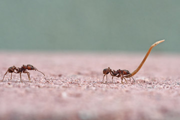 Leafcutter ants carrying plant material