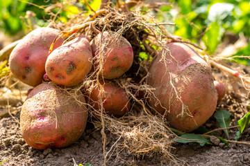 Potato tuber after harvesting, zhuravinka variety