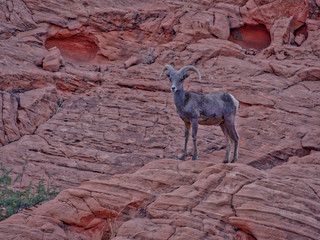 Mountaim goat in Valley of Fire