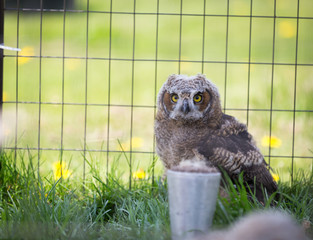 Wall Mural - Burrow Owl