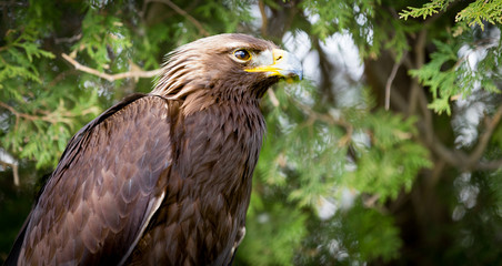 Fototapete - Golden Eagle