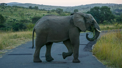 An elephant at a Game Reserve Safari in Africa
