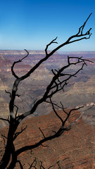 Vertical shot of dry, black brunches of a dying juniper tree on the edge of the spectacular Grand Canyon, American national monument and park, the South Rim, Grand Canyon National Park, Arizona, USA