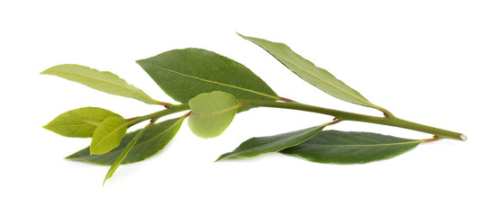 Fresh green branch of bay leaf isolated on white background. Laurus isolated.