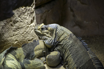 Lizards on sands