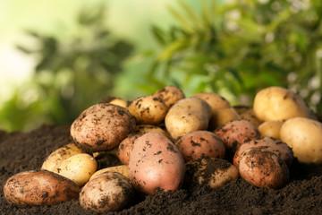 Pile of fresh organic potatoes on soil