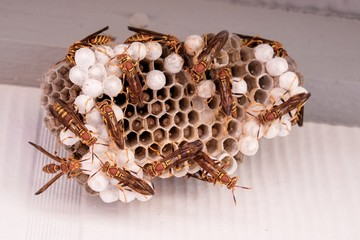 A large nest of busy paper wasps with several eggs and larvae in the cells - Raleigh North Carolina