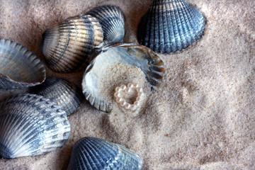 Herzmuscheln, Wattenmeer, Perle, Herz