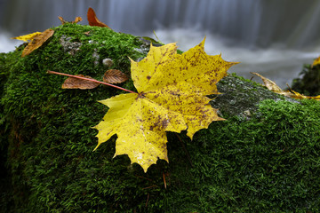 Maple leaf on boulder covered with moss