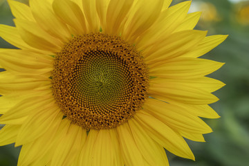 Яркий желтый подсолнух вечером
