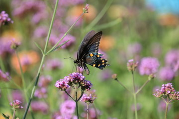 Black Butterfly with Round Yellow Marking