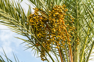 Cluster of date fruits, date palm fruits