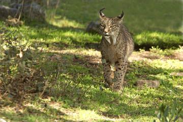 Iberian Lynx. Lynx pardinus