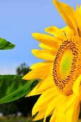 The brightest solar sunflower. Part of the sunflower with leaves on a blue sky background. Bright yellow color of the plant. Close up.