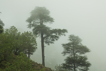 green pine trees on a hill in the fog