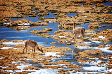 Vicunas grazing in Putana wetland, Atacama, Chile
