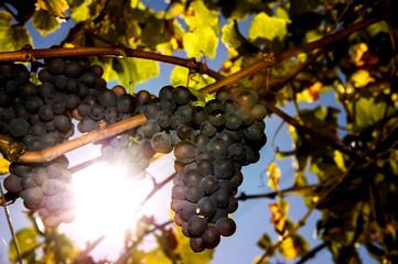 Uva da vino matura