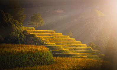 Rice fields on terraced with pine tree at sunset in Mu Cang Chai, YenBai, Vietnam.