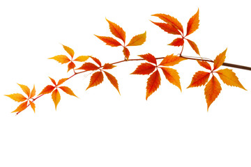 Branch of colorful autumn leaves isolated on a white background. Virginia creeper.