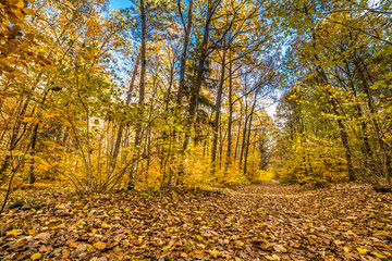 Path in the forest, autumn landscape, nature scenery with yellow trees and fallen leaves
