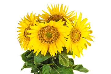 Bunch of fresh sunflowers
