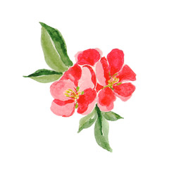 Japanese style. Botanical watercolor illustration of Red quince flower in blossom isolated on white. Could be used as decoration for web design, cosmetics design, package, textile, card, invitation