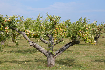 Apple tree plantation, Skane - Sweden