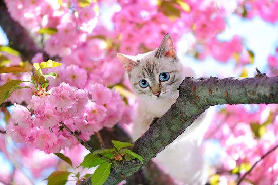 Blue eyed cat sitting on the branch of sakura tree