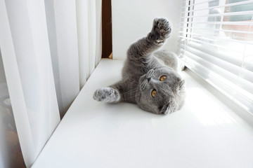 Playful gray cat on the window. The British cat is playing, waving its paws. Light beige background.