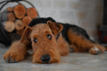 Airedale Terrier dog (puppy 8 month old), in the interior of the house (by the fireplace and woodpile) Wall mural