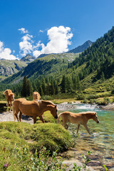 Horses in National Park of Adamello Brenta - Italy