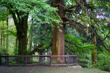 Three ancient trees in Lushan National Park mountains with two cryptomeria trees and one Gingko tree in China