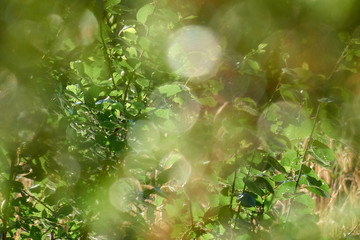 Fresh green leaves shining under sunrays beautiful out of focus background