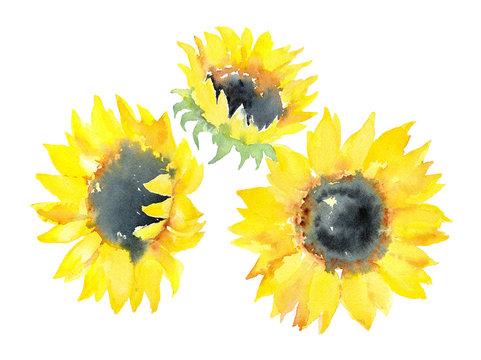 Watercolor sketch of three sunflowers on a white background