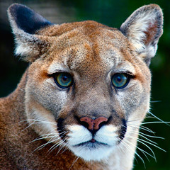 Foto auf Leinwand Puma Mountain Lion Looking at You