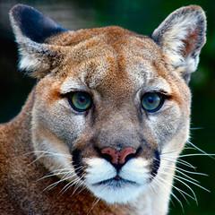 Fotorollo Puma Mountain Lion Looking at You