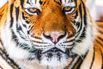 Closeup picture Tiger.