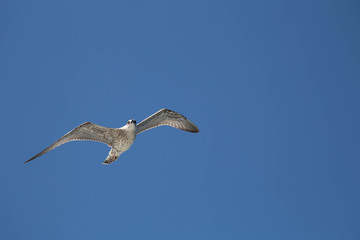 Seagull flying high with wings spread and blue sky