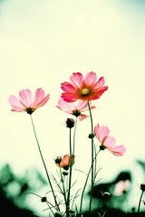 Wall Mural - Vintage tone beautiful cosmos flower in the field