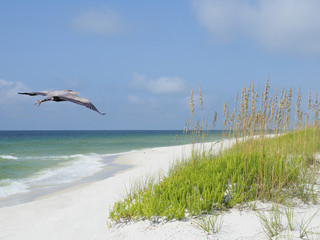 Wall Mural - Great Blue Heron Flies Over White Sand Florida Beach