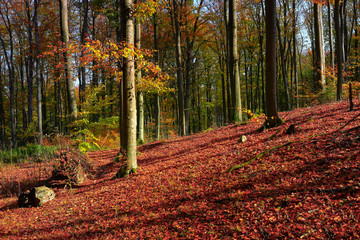 jesień w bukowym lesie