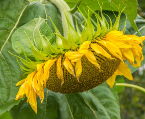 Yellow sunflower close-up. Suflower blossom, side view.