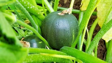 Kugelzucchini an Pflanze