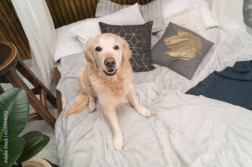 Golden Retriever Pure Breed Puppy Dog On Coat And Pillows On