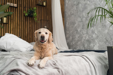 Golden retriever pure breed puppy dog on coat and pillows on bed in house or hotel. Scandinavian styled with green plants living room interior in art deco apartment. Pets friendly concept
