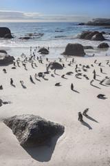 Brillenpinguin Kolonie (Spheniscus demersus) am Boulders Beach in Simon's Town