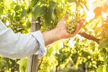 Vineyard - white grapes in farmer's hand - agriculture Fototapete