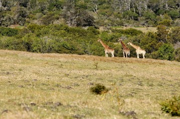 A picture of giraffes (Giraffa Camelopardalis) in the wild in South Africa.